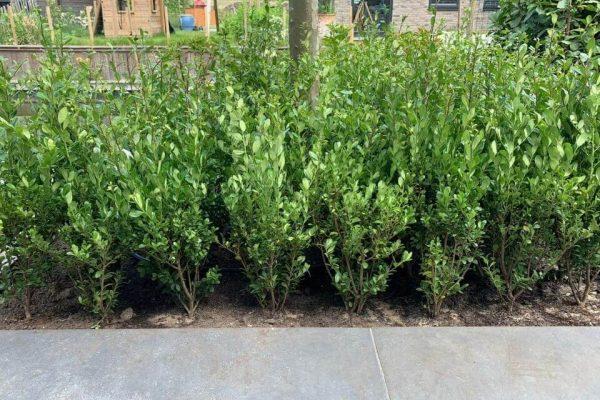 Nieuwe Ilex crenata Caroline Upright planten in blok