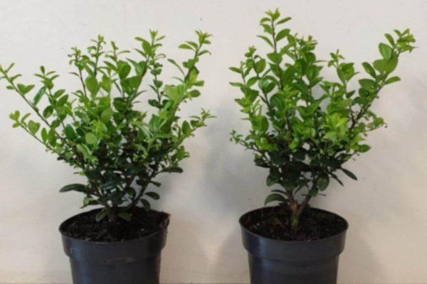 Ilex crenata 'Caroline Upright' plant