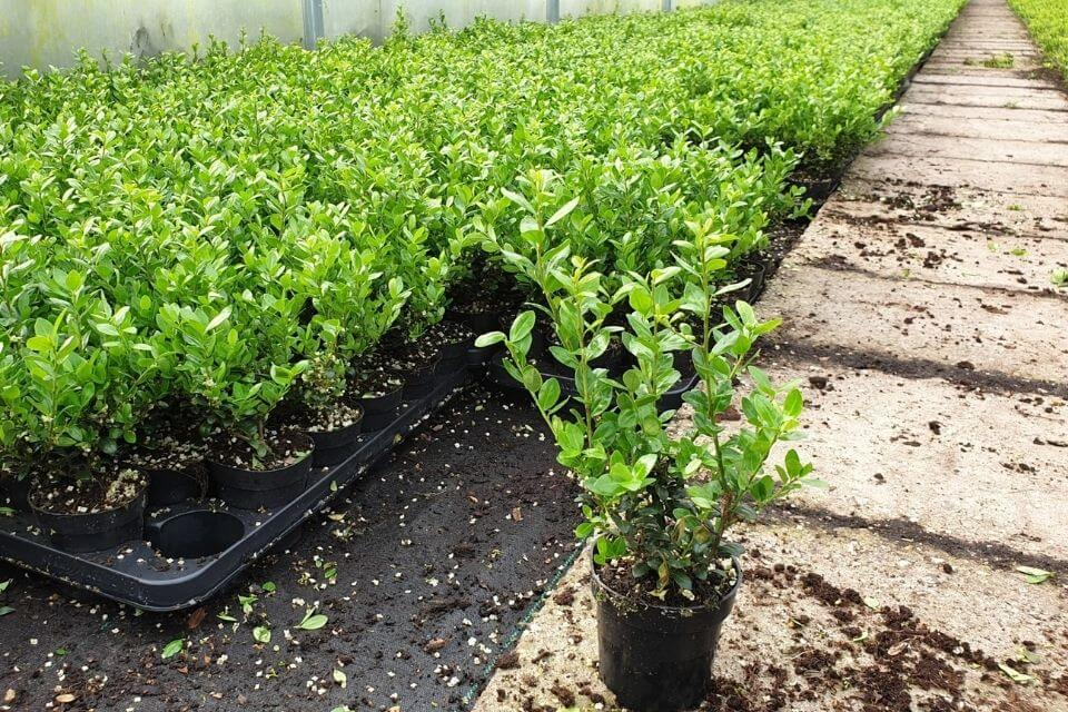 Ilex crenata 'Caroline Upright' planten bij kwekerij