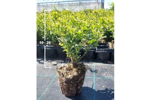 Ilex crenata Green Hedge 10/20