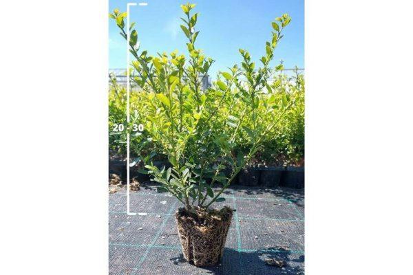 Ilex crenata Green Hedge 20/30