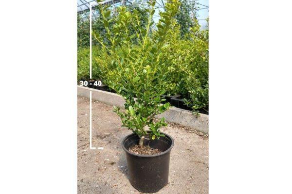 Ilex crenata Green Hedge 30/40