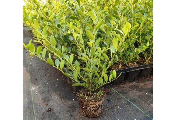 Losse Ilex crenata 'Green Hedge' plant