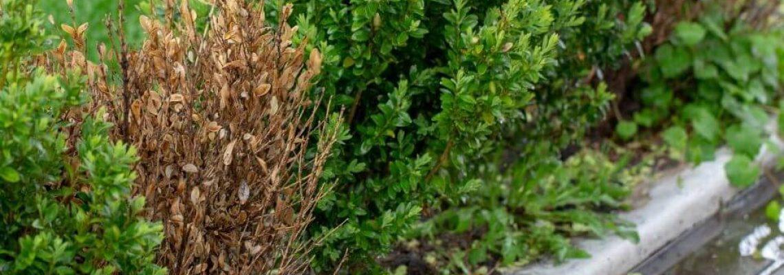 Ilex crenata als buxus vervanger vanwege ziekte door buxusmot