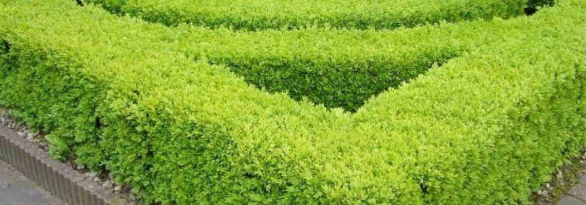 Ilex crenata 'Green Hedge' haag