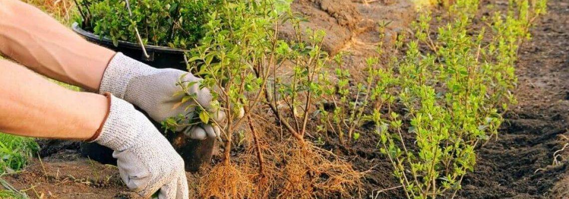 Ilex crenata planten en plaatsen