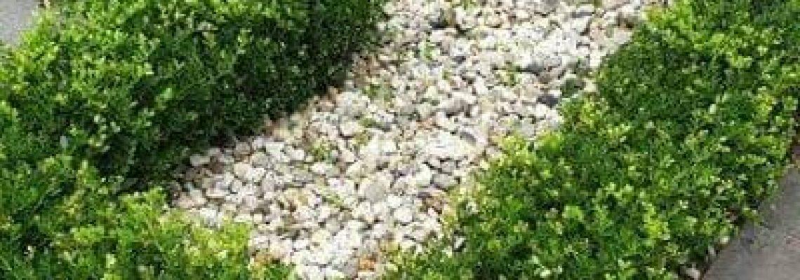 Referentie Ilex crenata Green Hedge
